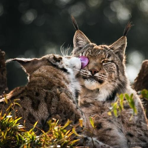 ears tongue licking lynx squee wild cats