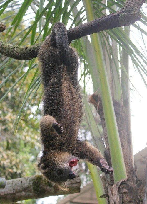 bearcat,hanging,binturong,squee spree,squee,upside down