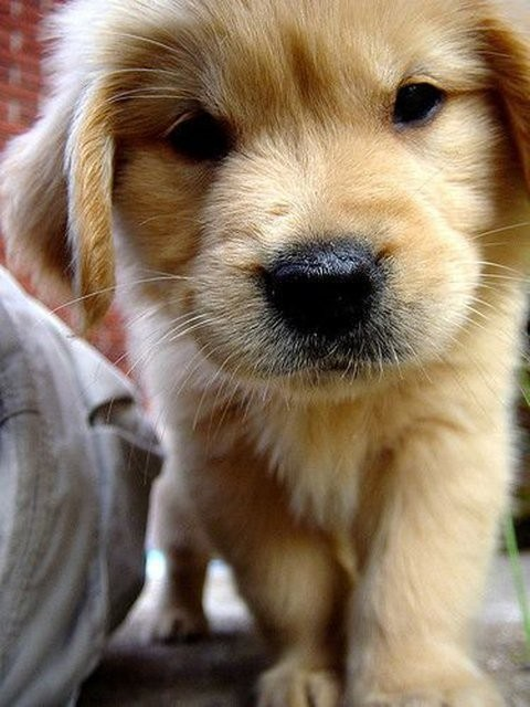 dogs,puppies,close up,golden retriever,cyoot puppy ob teh day