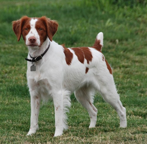 dogs,versus,goggie ob teh week,brittany spaniel,face off