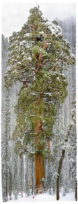 Forest record tree winter Hall of Fame best of week - 6824472576
