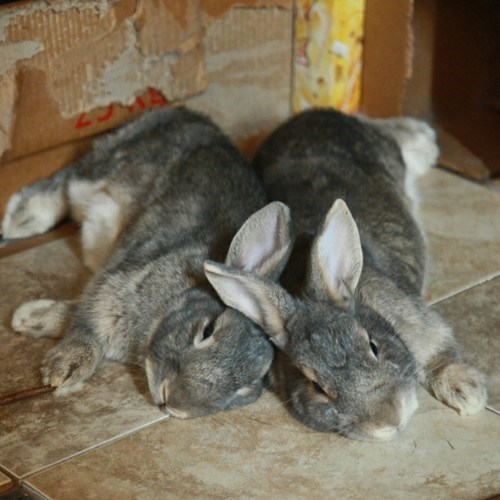 Bunday tired ears rabbit bunny squee resting
