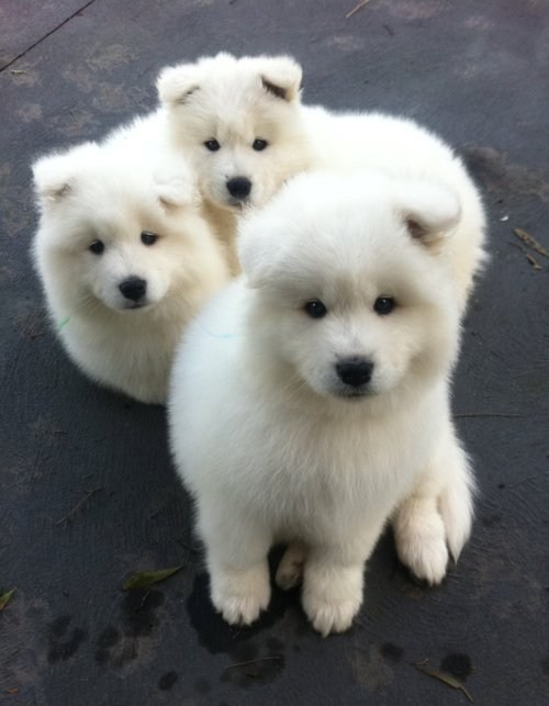 dogs samoyed puppies Fluffy cyoot puppy ob teh day - 6828101120