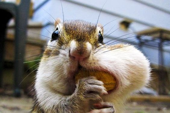 cute photos of squirrels with mouths full of nuts