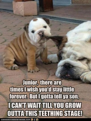dogs,baby,daddy,puppies,teething,bulldogs,chewing,junior