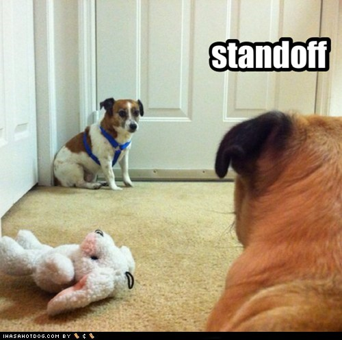 standoff dogs toy fighting dueling what breed