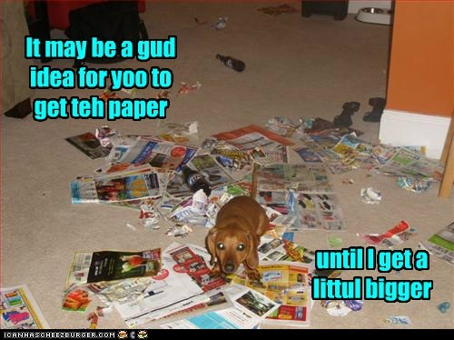 dogs puppy dachshund too little mess news paper