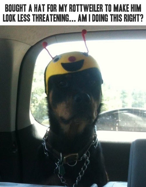 dogs,wtf,rottweilers,hats,bees,threatening,costume,silly,intimidating