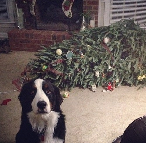 christmas bernese mountain dog holiday tree funny dogs g rated sketchy santas - 6837519872