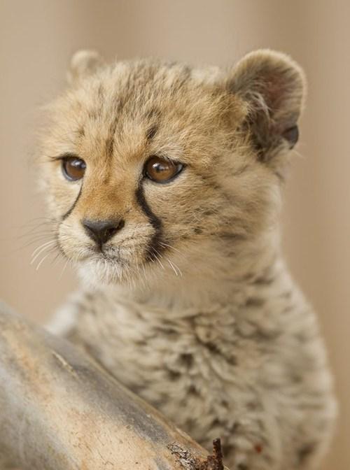 Babies cubs cheetahs squee spree squee - 6837809408
