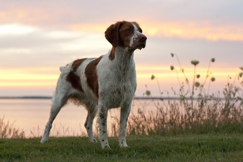 dogs goggie ob teh week brittany spaniel french - 6838050304