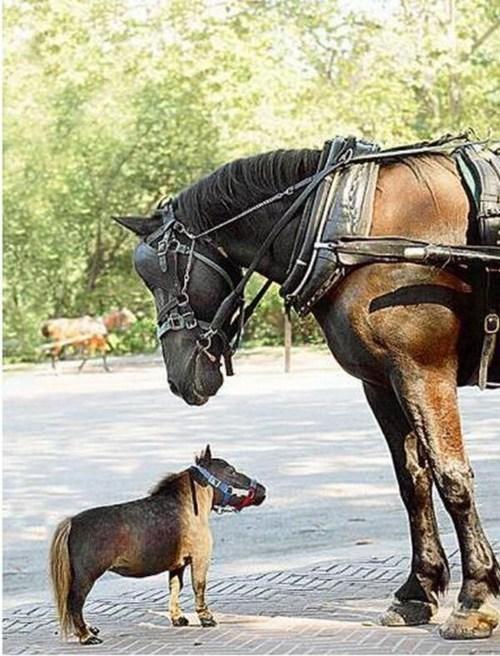 Miniature Horse tiny horses squee - 6843308800