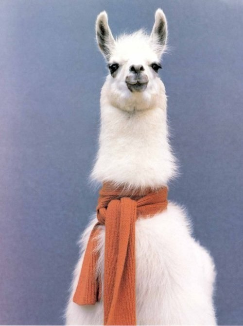 fancy scarves llamas squee - 6843352576