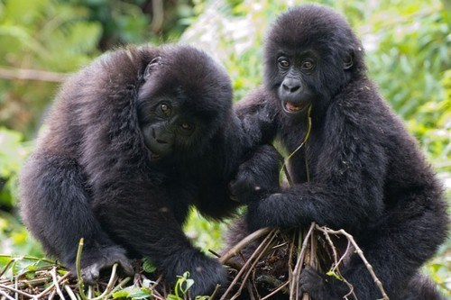 Babies gorillas squee spree squee playing - 6843356672