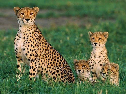 Babies triplets mommy cubs cheetahs squee spree squee - 6843545856