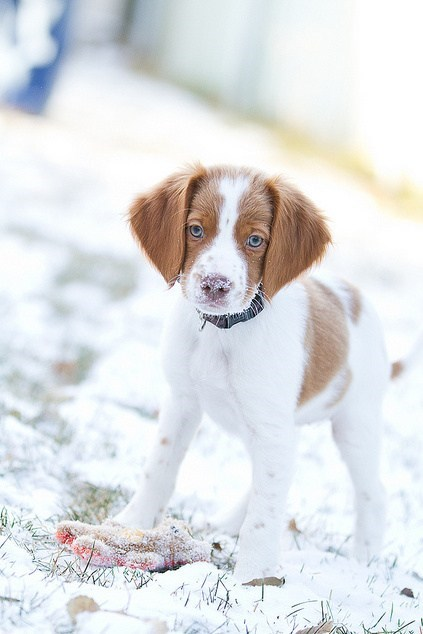 dogs,snow,goggie ob teh week,brittany spaniel,hunting dog