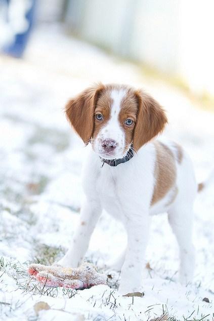 dogs snow goggie ob teh week brittany spaniel hunting dog - 6843922688