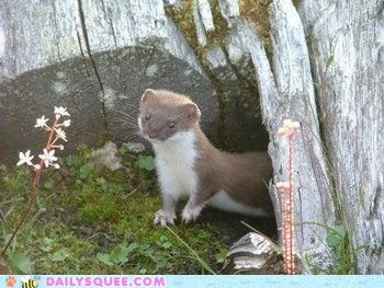 "The ""Least Weasel"""