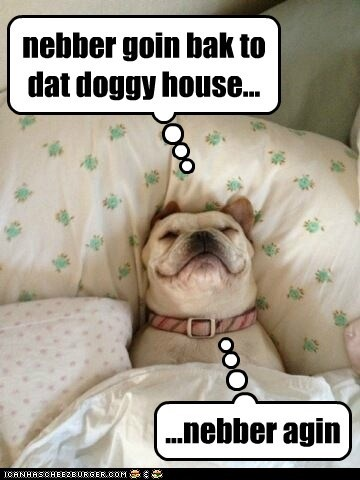 dogs,bed,pillows,french bulldogs,never leave,dog house,comfy,sleeping