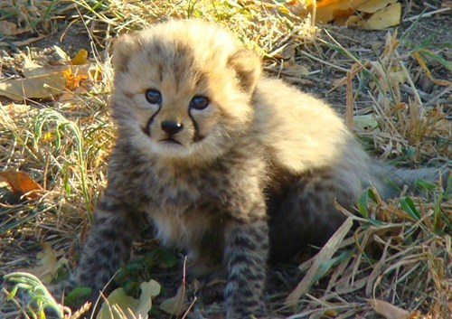baby cubs cheetahs squee spree squee - 6847777792