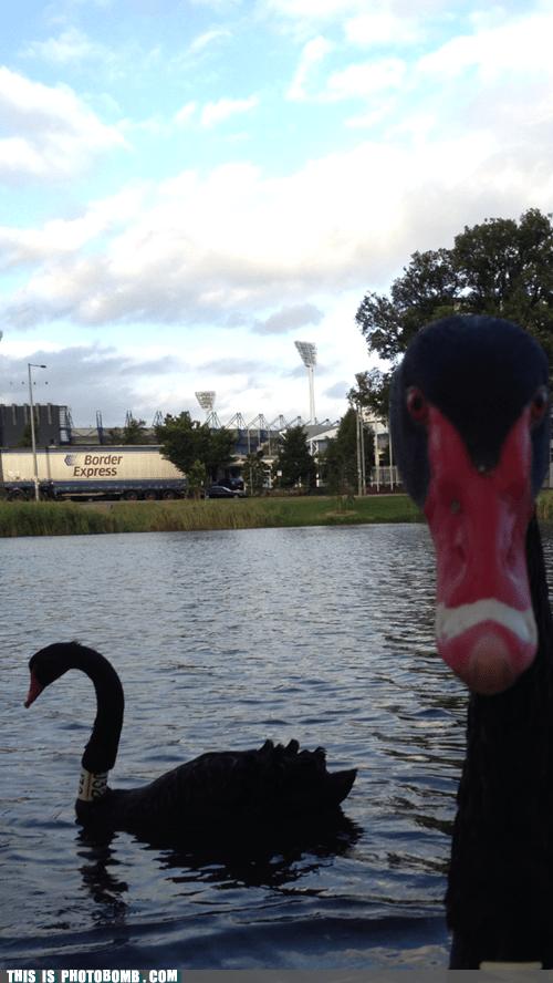 swan looking at me animals - 6847828224