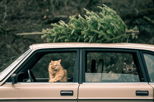 cyoot kitteh of teh day,christmas,trees,cars,christmas trees,Cats