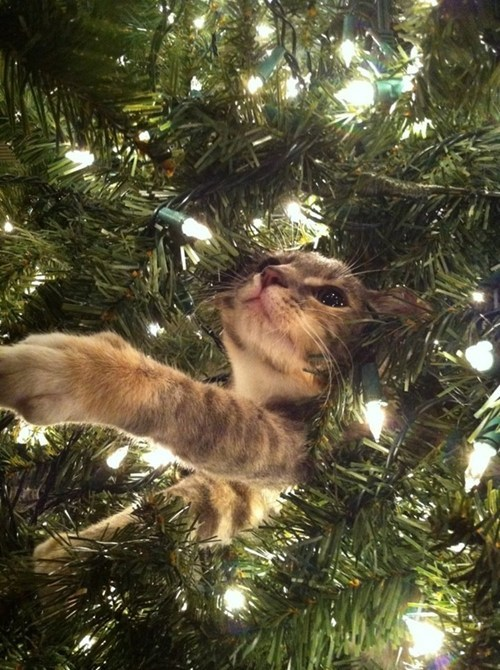cyoot kitteh of teh day,christmas,lights,naughty,destruction,ornaments,christmas trees,Cats