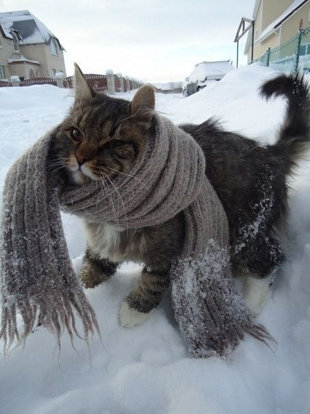 cyoot kitteh of teh day christmas snow bundled up scarves Cats warm - 6847971584