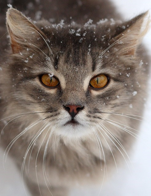 cyoot kitteh of teh day,christmas,snow,Cats