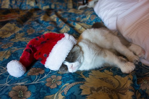 cyoot kitteh of teh day,christmas,santa hats,Grumpy Cat,tard,Cats,sleeping