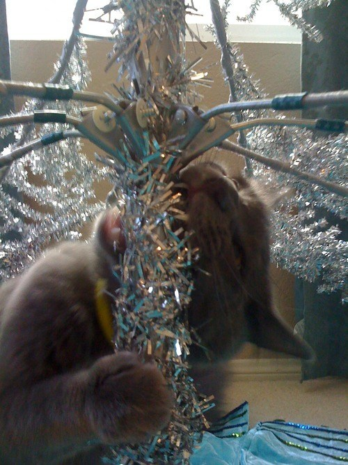 cyoot kitteh of teh day,christmas,trees,destruction,tinsel,decorations,christmas trees,Cats