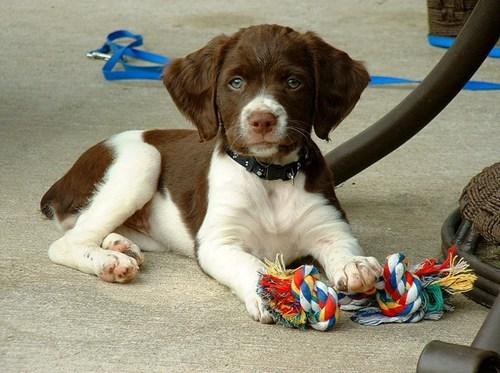 dogs,puppy,goggie ob teh week,brittany spaniel