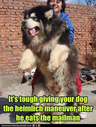 dogs,mailman,eating,tibetan mastiff,heimlich maneuver