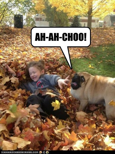 dogs achoo pugs leaves derp sneezing - 6850469632