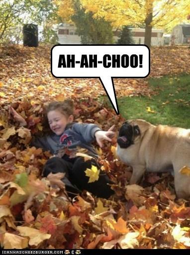 pugs leaves derp sneezing - 6850469632
