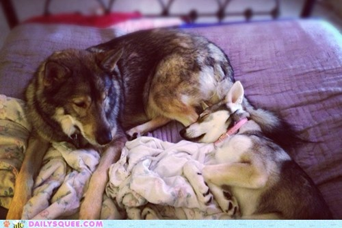 dogs,reader squee,pets,tamaskan,squee,sleeping