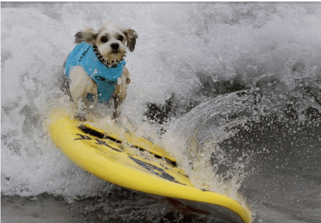 dogs dog photos photos beach surfing contest - 6853637