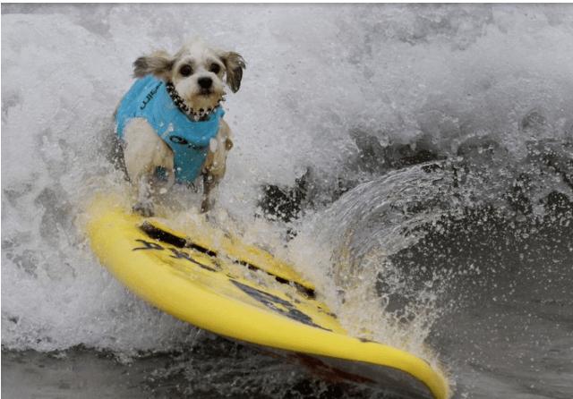 dogs dog photos photos beach surfing contest - 6853637