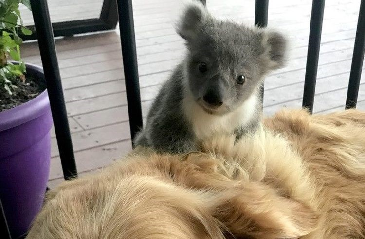 baby koala cuddling with dog