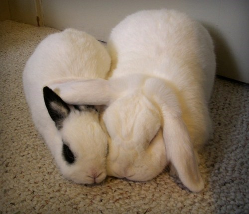 Bunday snuggles ears rabbit bunny squee - 6855108864
