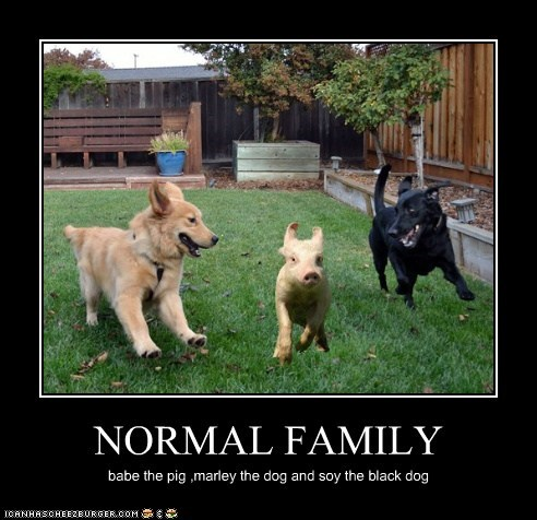 NORMAL FAMILY babe the pig ,marley the dog and soy the black dog