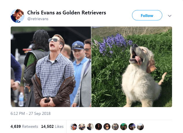 chris evans memes is golden retriever