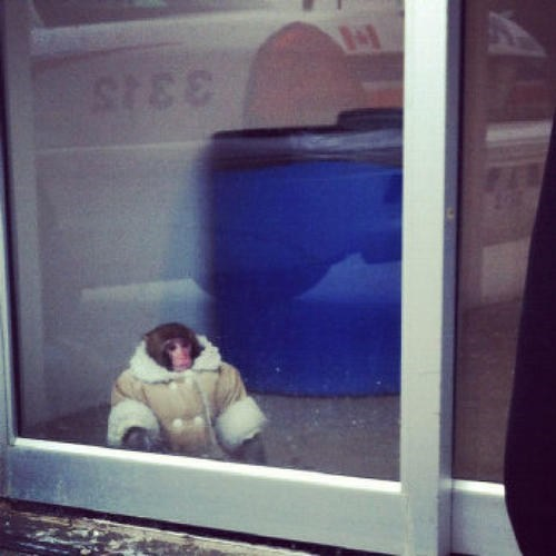 monkey at ikea,toronto,ikea monkey,cbc news,Darwin,darwin the monkey,shopping monkey,monday thru friday,g rated