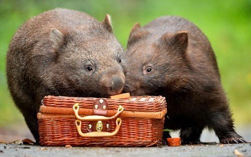picnic,wombats,squee,marsupial,basket