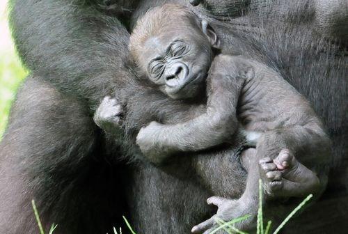 Babies gorillas mommy hugs squee spree squee - 6866791424