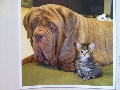 dogs kitten wrinkles kittehs r owr friends droopy dog mastiff Cats - 6870757632