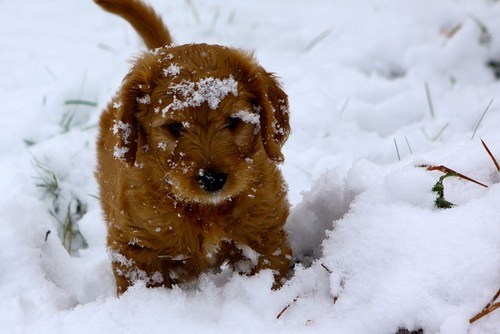 poodle,dogs,snow,puppies,cyoot puppy ob teh day