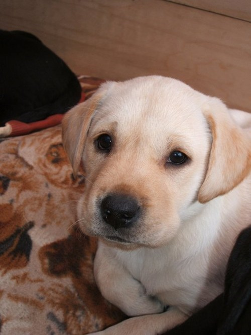 dogs labrador puppies cyoot puppy ob teh day - 6871944192