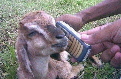 llama animals and phones yes this is llama - 6874673920