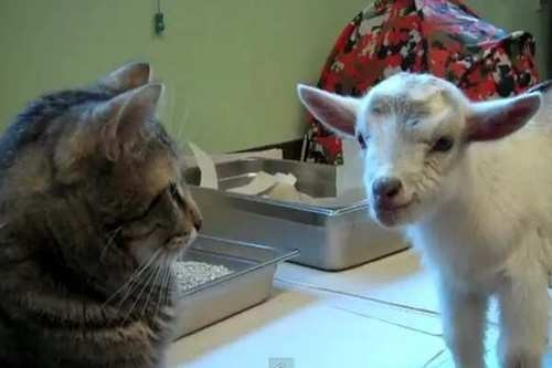 kids Interspecies Love goats Cats